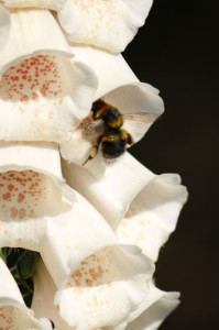 Bee in Foxglove by bish